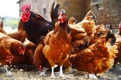Pollos en granja avícola libre tradicional de la gama Fotos de archivo libres de regalías