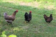 Pollos en jardín Imagen de archivo