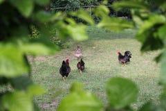 Pollos en jardín fotografía de archivo libre de regalías