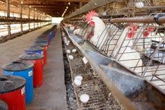 Pollos en jaulas de batería Imágenes de archivo libres de regalías