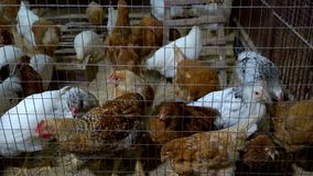 Pollos en la casa de gallina metrajes
