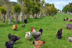 Pollos en la plantación del árbol del té Imagenes de archivo