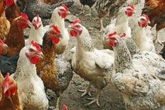 Pollos en la yarda de las aves de corral Fotos de archivo libres de regalías