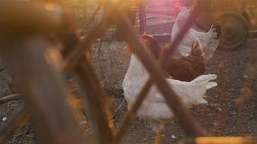 Pollos en la yarda almacen de metraje de vídeo