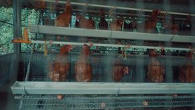 Pollos en las jaulas en el mercado almacen de metraje de vídeo
