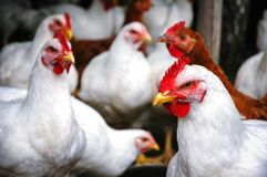 Pollos en Polonia foto de archivo libre de regalías