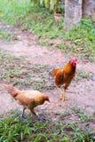 Pollos en un césped Fotos de archivo