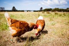 Pollos en un campo Imagen de archivo