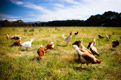 Pollos en un campo Fotos de archivo