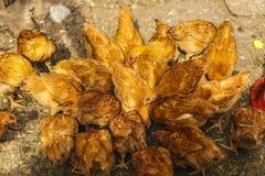 Pollos en un hogar en alguna parte en el país Imagen de archivo libre de regalías