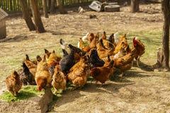 Pollos en un hogar en alguna parte en el país Imágenes de archivo libres de regalías