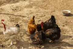 Pollos en un hogar en alguna parte en el país Fotos de archivo