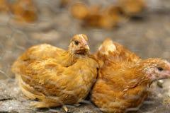 Pollos en un hogar en alguna parte en el país Imagen de archivo