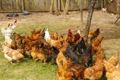 Pollos en un hogar en alguna parte en el país Imagenes de archivo