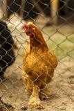 Pollos en un hogar en alguna parte en el país Fotografía de archivo