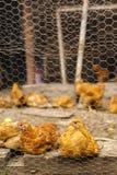Pollos en un hogar en alguna parte en el país Fotos de archivo libres de regalías