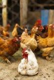 Pollos en un hogar en alguna parte en el país Fotografía de archivo libre de regalías