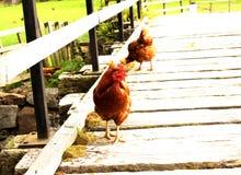 Pollos en un puente Foto de archivo libre de regalías