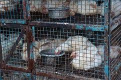 Pollos en una jaula Imagen de archivo