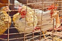 Pollos en una jaula de pájaros Imagen de archivo libre de regalías