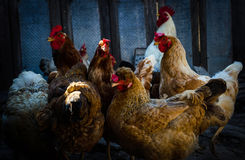 Pollos felices Imagen de archivo