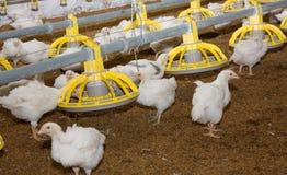 Pollos. Granja avícola imagenes de archivo
