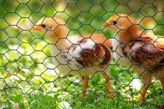 Pollos jovenes Imagen de archivo libre de regalías
