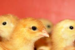 Pollos jovenes fotografía de archivo