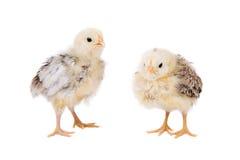 Pollos jovenes Imágenes de archivo libres de regalías