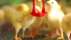 Pollos jovenes en la granja almacen de video