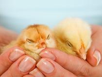 Pollos jovenes soñolientos en manos de la mujer Fotografía de archivo