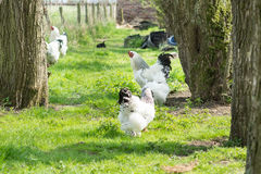 Pollos libres de Brahma de la gama, gallinas y gallos, en un jardín Fotografía de archivo