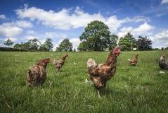 Pollos libres de la gama Foto de archivo libre de regalías