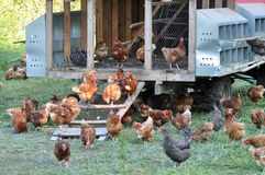 Pollos libres de la gama Foto de archivo
