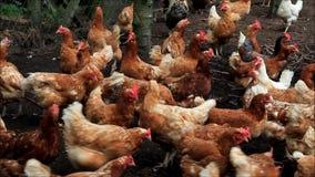 Pollos libres de la gama en una granja
