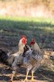 Pollos libres de la gama en una granja en Corfú Grecia Foto de archivo libre de regalías