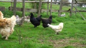 Pollos libres de la gama que caminan alrededor de una granja del país que forrajea para la comida en el corral almacen de video