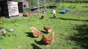 Pollos libres de la gama que picotean en la hierba metrajes