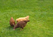Pollos libres del rango Imagen de archivo libre de regalías