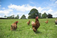 Pollos libres del rango Fotografía de archivo libre de regalías