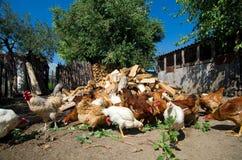 Pollos libres del rango Fotos de archivo libres de regalías
