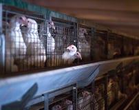 Pollos naturales de la carne de los animales jovenes, criando el pollo en la granja, industria, primer, orgánico fotos de archivo libres de regalías