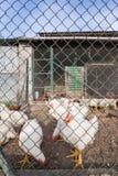 Pollos o gallinas blancos fotos de archivo