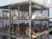 Pollos para la venta Fotos de archivo libres de regalías