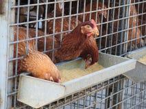 Pollos para la venta Fotografía de archivo libre de regalías