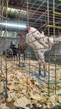 Pollos para la venta Foto de archivo libre de regalías