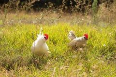 Pollos pequenos en campo Fotos de archivo