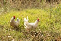 Pollos pequenos en un campo de la hierba Imágenes de archivo libres de regalías