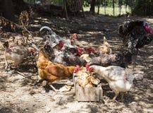 Pollos que comen el pan Foto de archivo libre de regalías