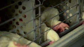 Pollos que comen la comida y con los huevos en bandeja Cámara lenta almacen de metraje de vídeo